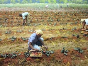 """Strawberry harvest at Louisiana State Exhibit Museum in Shreveport IMG 3360"" by Billy Hathorn - Own work. Licensed under Creative Commons Attribution-Share Alike 3.0 via Wikimedia Commons"